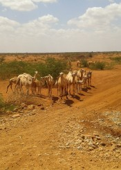 CamelsB