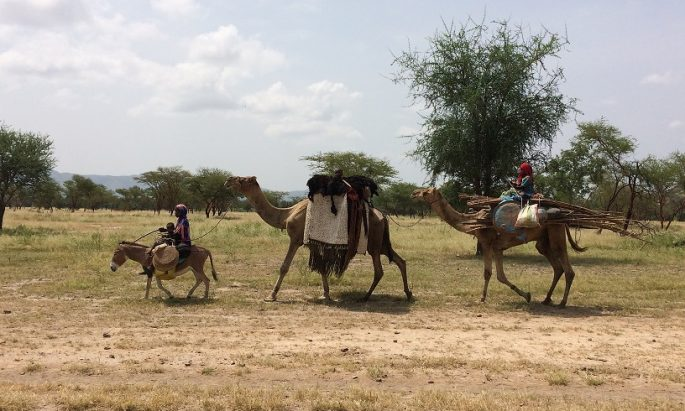 Camels in Chad