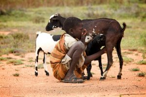 Photo of boy in Uganda with calves