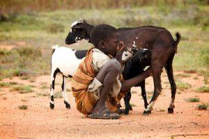 Photo of boy in Uganda with calves